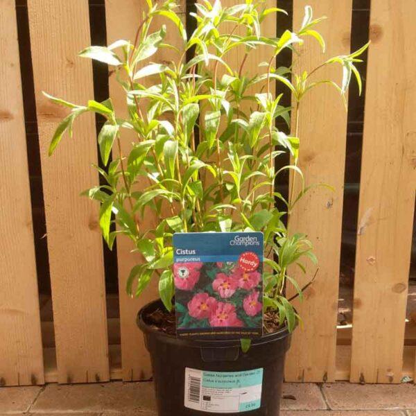 Cistus × purpureus