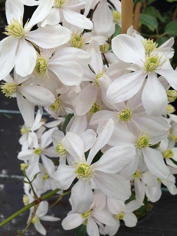 Clematis armandii (3 litre pot)