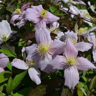 Clematis montana var. rubens 'Odorata' (3 litre pot)