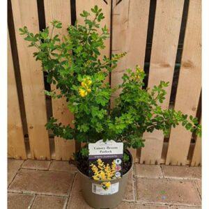 Cytisus Canary Broom 'Porlock'