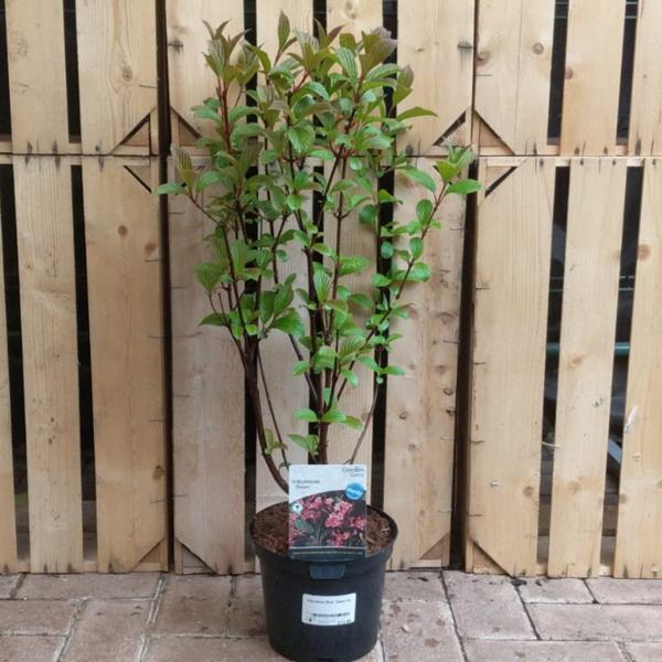 Viburnum × bodnantense 'Dawn' (3 litre pot)