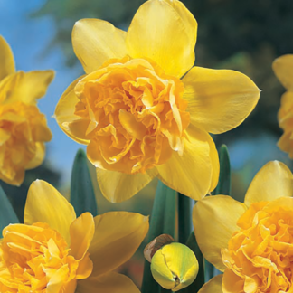 Narcissus 'Dick Wilden' (Double Daffodil)