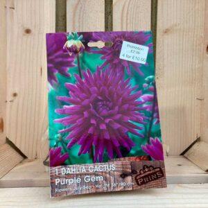 Dahlia Cactus 'Purple Gem'