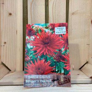 Dahlia Cactus 'Berger's Rekord'