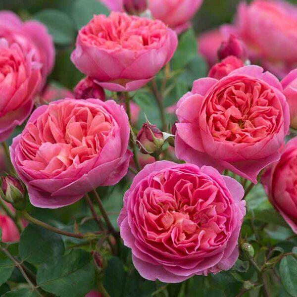 David Austin Boscobel® (Auscousin) English Shrub Rose display