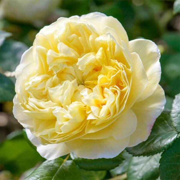 David Austin Charles Darwin (Auspeet) English Shrub Rose detail