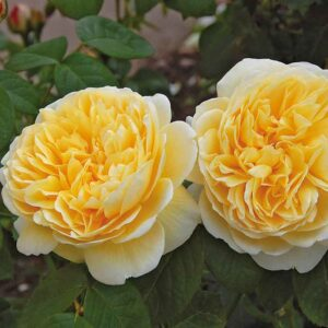 David Austin Charlotte® (Auspoly) English Shrub Rose