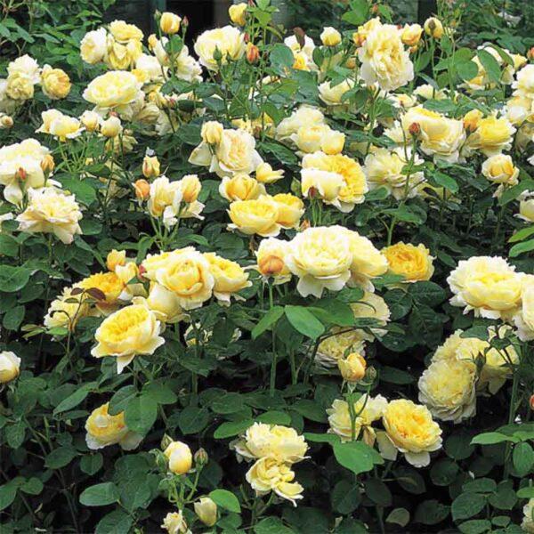 David Austin Charlotte® (Auspoly) English Shrub Rose display