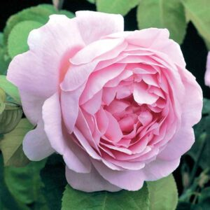 David Austin Constance Spry (Ausfirst) English Climbing Rose