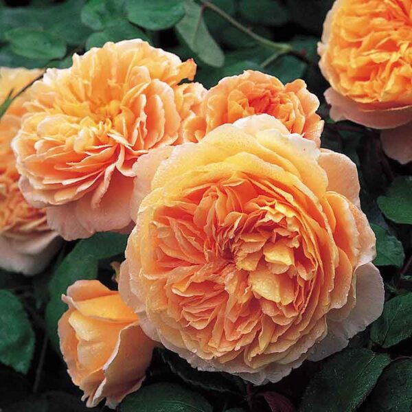 David Austin Crown Princess Margareta® (Auswinter) Climbing Rose