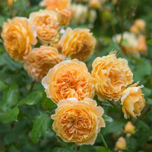 David Austin Crown Princess Margareta® (Auswinter) Climbing Rose display