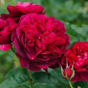 David Austin Darcey Bussell® (Ausdecorum) English Shrub Rose