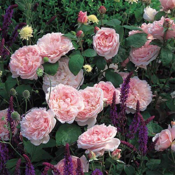 David Austin Eglantyne® (Ausmak) English Shrub Rose display