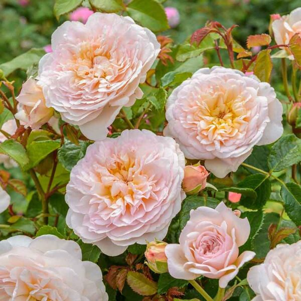 David Austin Emily Brontë® (Ausearnshaw) English Shrub Rose