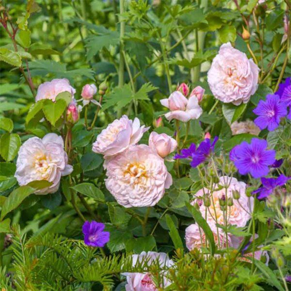 David Austin Emily Brontë (Ausearnshaw) English Shrub Rose display