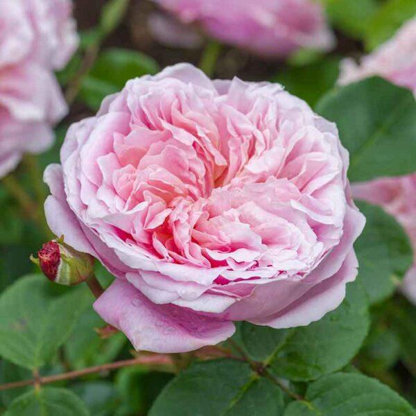 David Austin Eustacia Vye® (Ausegdon) English Shrub Rose