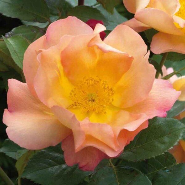 David Austin Fighting Temeraire® (Austrava) English Shrub Rose