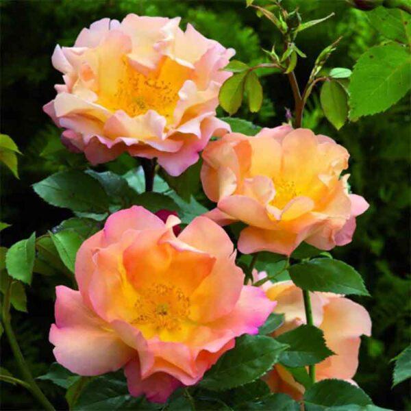David Austin Fighting Temeraire® (Austrava) English Shrub Rose blooms
