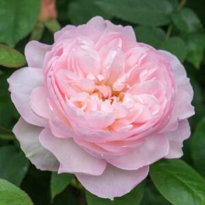 David Austin Gentle Hermione (Ausrumba) English Shrub Rose