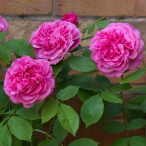 David Austin Gertrude Jekyll® (Ausbord) Climbing Rose
