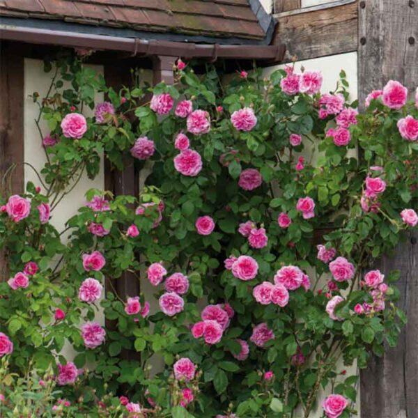 David Austin Gertrude Jekyll® (Ausbord) Climbing Rose display