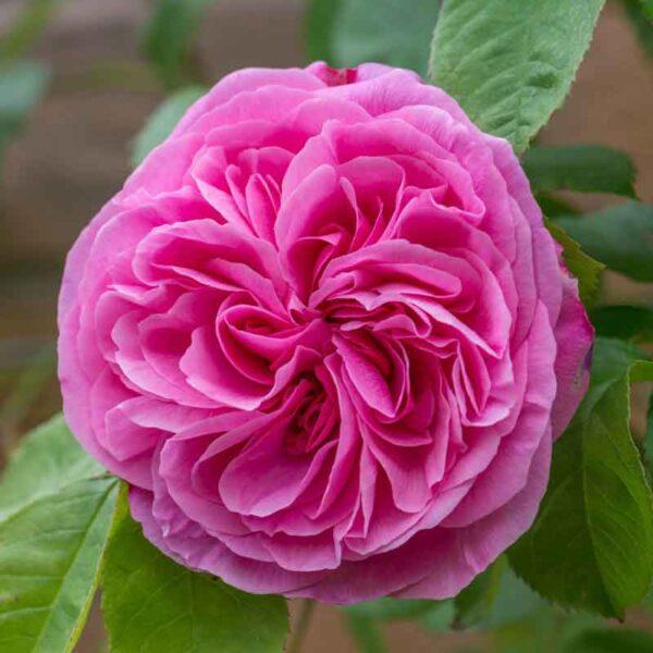 David Austin Gertrude Jekyll® (Ausbord) English Shrub Rose