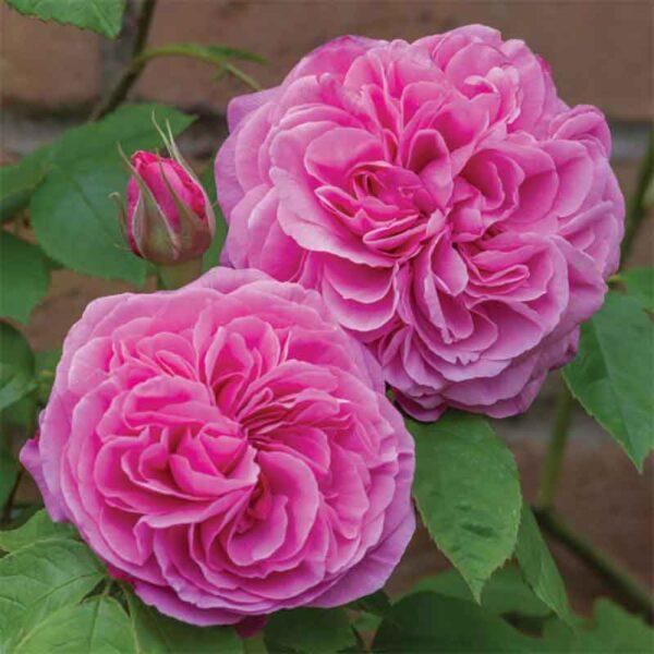 David Austin Gertrude Jekyll (Ausbord) English Shrub Rose display