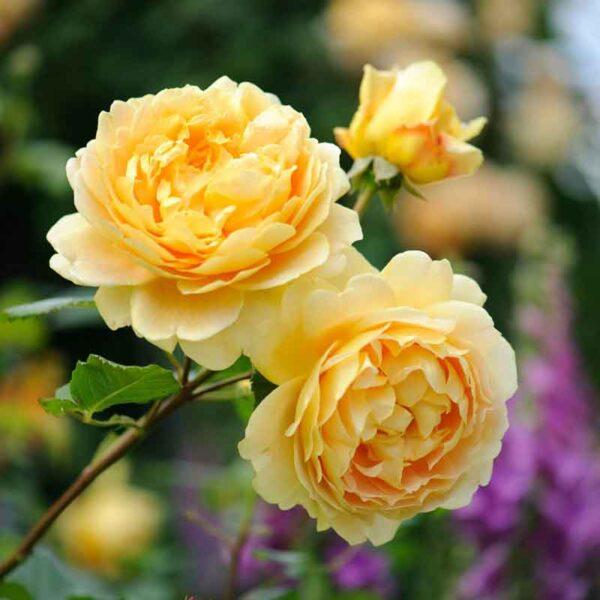 David Austin Golden Celebration® (Ausgold) English Shrub Rose