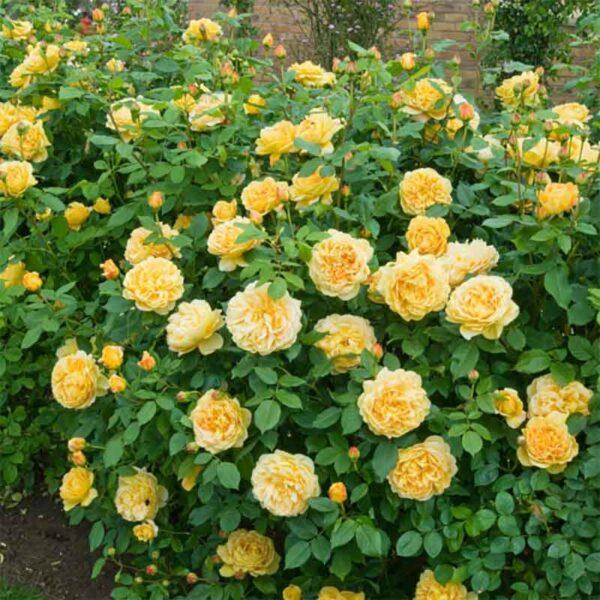 David Austin Golden Celebration® (Ausgold) English Shrub Rose display