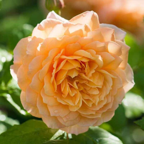 David Austin Grace (Auskeppy) English Shrub Rose
