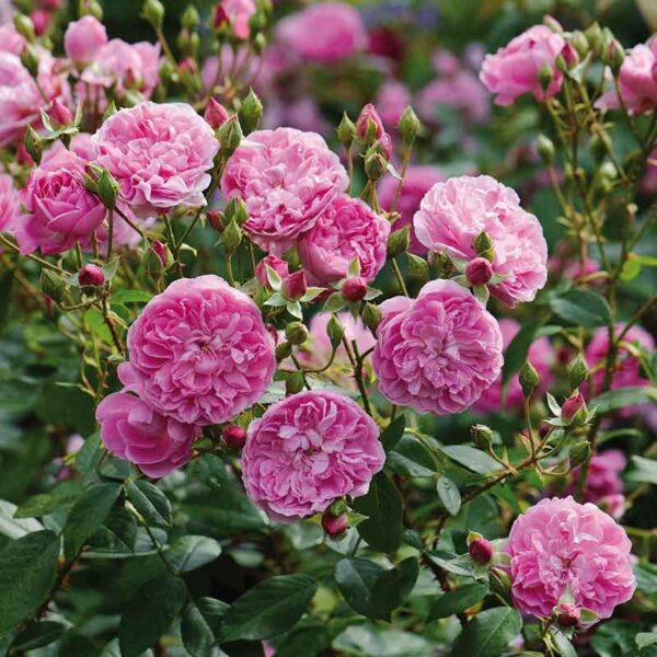 David Austin Harlow Carr (Aushouse) English Shrub Rose