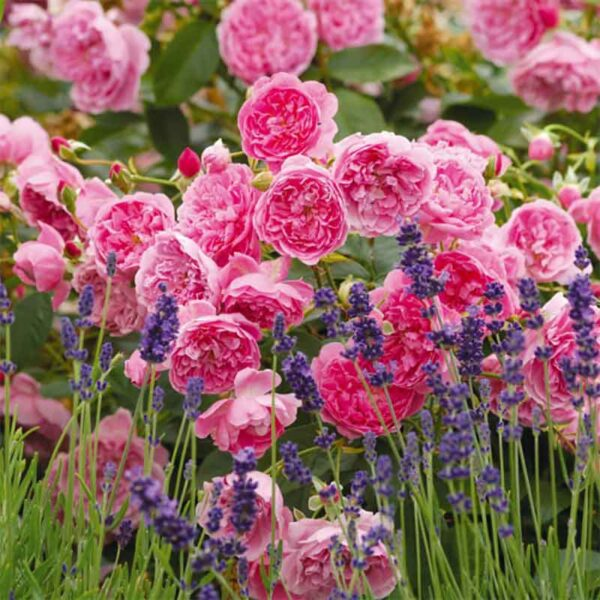 David Austin Harlow Carr (Aushouse) English Shrub Rose display