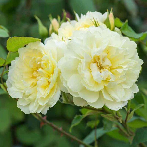 David Austin Imogen (Austritch) English Shrub Rose
