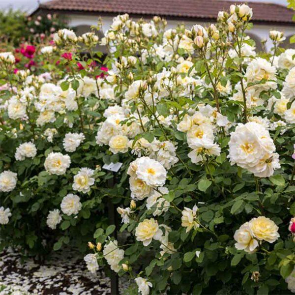 David Austin Imogen (Austritch) English Shrub Rose display