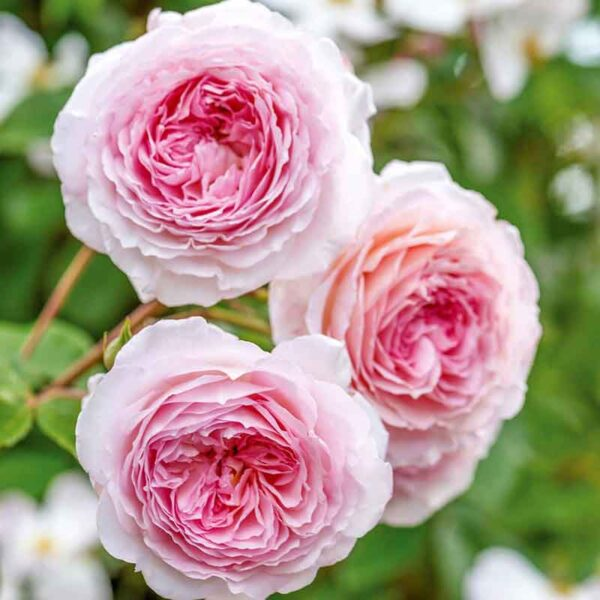 David Austin James Galway (Auscrystal) Climbing Rose
