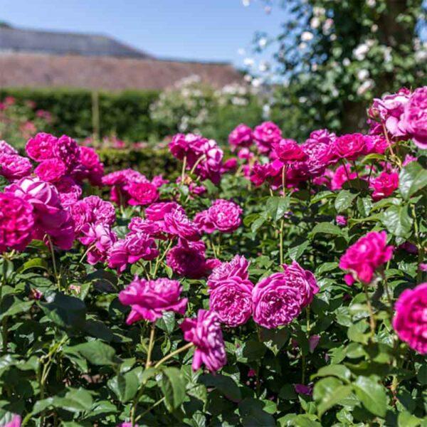David Austin James L Austin™ (Auspike) English Shrub Rose display