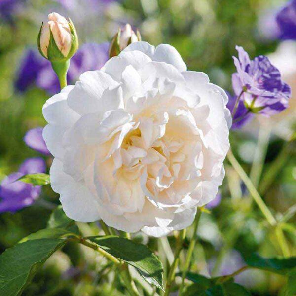 David Austin Lichfield Angel® (Ausrelate) English Shrub Rose
