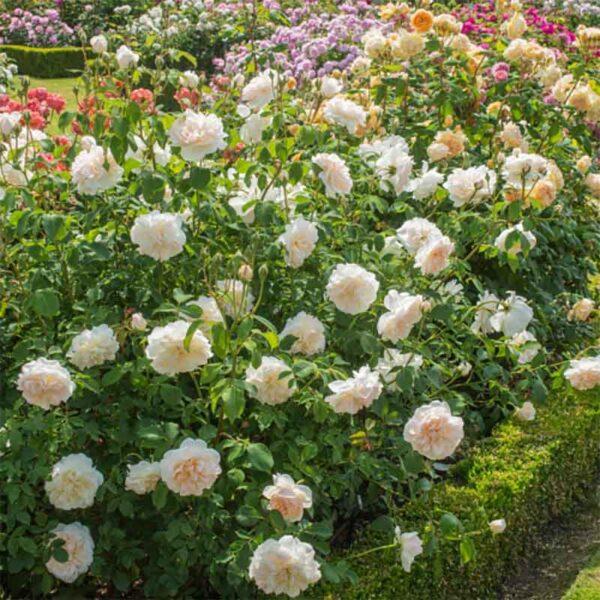 David Austin Lichfield Angel® (Ausrelate) English Shrub Rose display