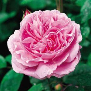 David Austin Mary Rose® (Ausmary) English Shrub Rose