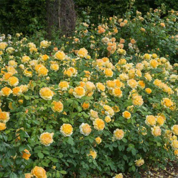 David Austin Molineux® (Ausmol) English Shrub Rose display