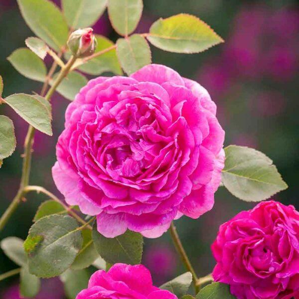 David Austin Noble Antony® (Ausway) English Shrub Rose