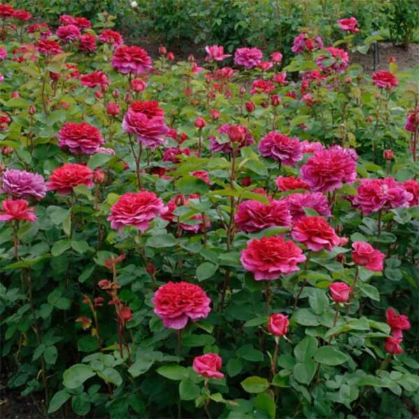 David Austin Noble Antony® (Ausway) English Shrub Rose display