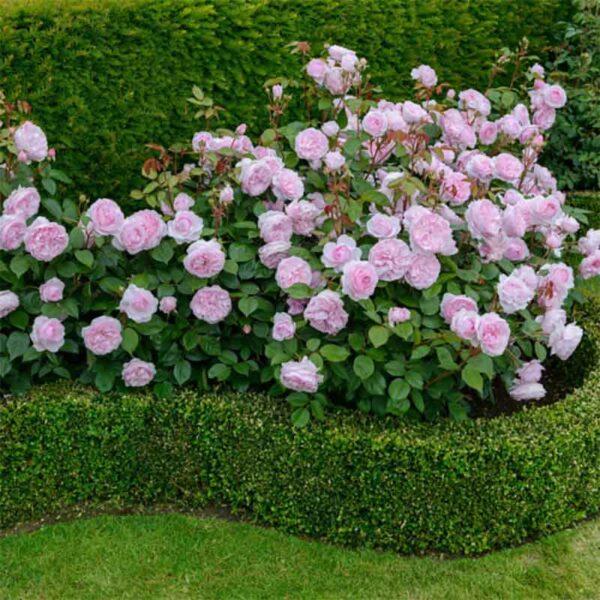 David Austin Olivia® (Ausmixture) English Shrub display