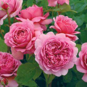 David Austin Princess Alexandra Of Kent® (Ausmerchant) English Shrub Rose