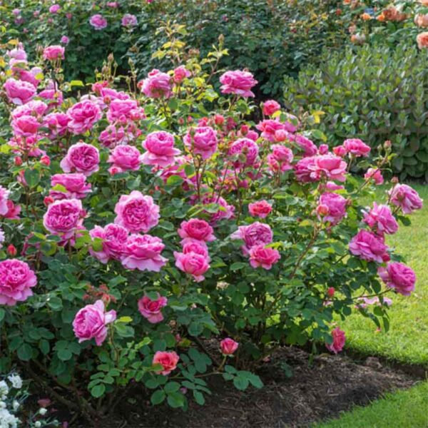 David Austin Princess Alexandra Of Kent (Ausmerchant) English Shrub Rose display