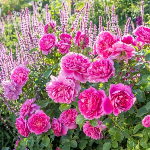 David Austin Princess Anne® (Auskitchen) English Shrub Rose display