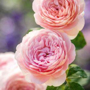 David Austin Queen Of Sweden® (Austiger) English Shrub Rose