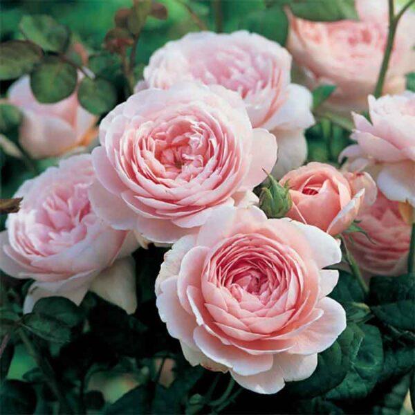 David Austin Queen Of Sweden (Austiger) English Shrub Rose display