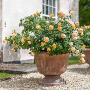 David Austin Roald Dahl® (Ausowlish) English Shrub Rose