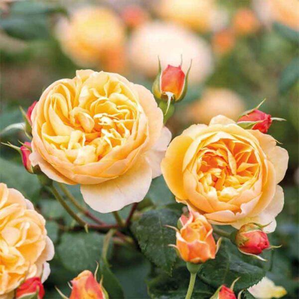 David Austin Roald Dahl® (Ausowlish) English Shrub Rose display